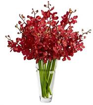 Red Mokara Orchids