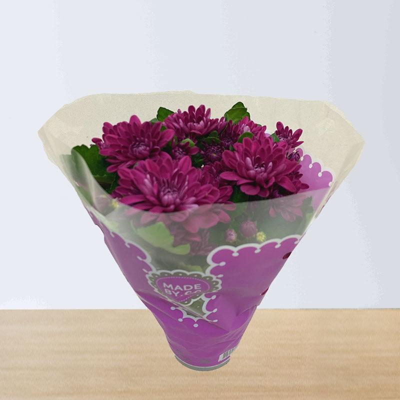 Purple Chrysanthemums Plant