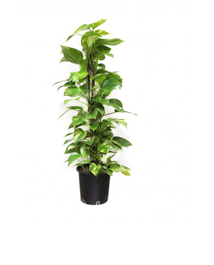 The Money Plant100-120cm