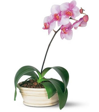 Pink Phalaenopsis Orchid Plant