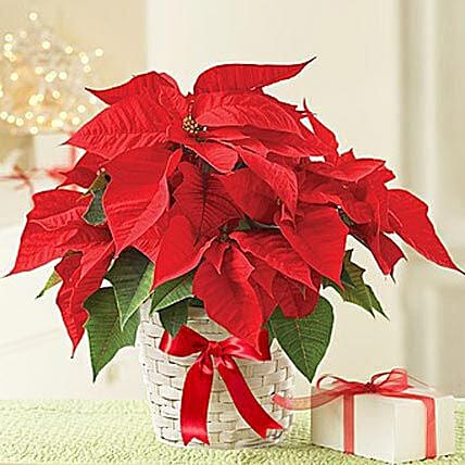 Gift Red Poinsettia plant